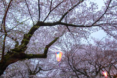 Sakura Festival lantern at Omiya Park,Saitama,Japan in spring. Royalty Free Stock Photo