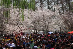 Sakura festival Stock Photo