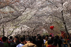 Sakura festival Royalty Free Stock Photo