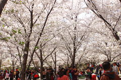 Sakura festival Royalty Free Stock Photography