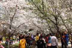 Sakura festival Stock Photography