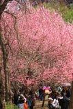 Sakura festiwal fotografia royalty free