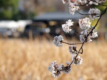 Sakura in The Field. Close up view of sakura (cherry blossom) with a dried up field in Tokyo, Japan Stock Image