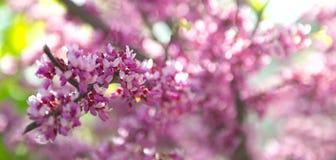 Sakura filial, Royaltyfri Bild