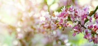 Sakura filial, av en bokeh Arkivfoto
