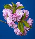 Sakura filial med blommor Arkivfoto