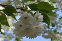 Sakura filial med vita blommor 2 royaltyfria bilder