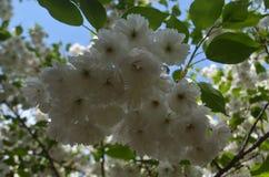 Sakura filial med vita blommor royaltyfri foto