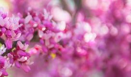Sakura filial, rosa färg på bakgrunden Royaltyfri Fotografi