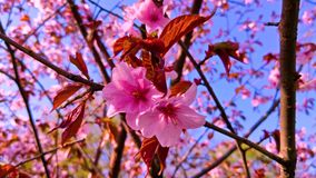 Sakura filial som sv?nger i vindn?rbilden japan fj?der stock video