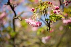 Sakura Fiore di ciliegia nella primavera Fotografia Stock Libera da Diritti