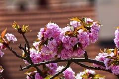 Sakura - fiore di ciliegia rosa Fotografie Stock
