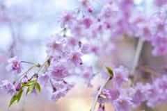 Sakura - fiori di ciliegia Fotografie Stock