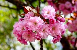Sakura, fiori rosa del dettaglio Immagine Stock