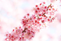 Sakura fiorisce la riga Fotografia Stock Libera da Diritti