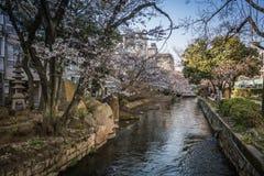Sakura fiorisce sopra un piccolo fiume con un fondo vago dei percorsi costieri sotto i ciliegi sboccianti di rosa Immagini Stock Libere da Diritti
