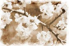 Sakura fiorisce (stile dell'annata) Fotografie Stock
