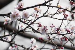 Sakura, fleur de fleurs de cerisier avec le foyer mou au Japon image libre de droits