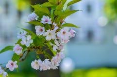 Sakura fleurissant rose sur un faible fond photographie stock