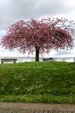 Sakura fleurit en parc de ville sur une colline images stock