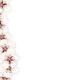 Sakura fleurit le fond Cherry Blossom Isolated sur le blanc Photo libre de droits