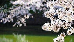 Sakura, fleurs de cerisier japonaises Photographie stock