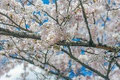 Sakura, flor blanco en Japón Imagen de archivo