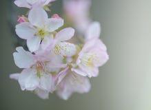 Sakura, flor de cereja fotografia de stock royalty free