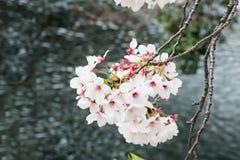 Sakura - flor de cerejeira bonita na flor completa em Japão Imagem de Stock