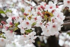 Sakura - flor de cerejeira bonita na flor completa em Japão Foto de Stock Royalty Free