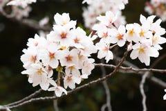 Sakura - flor de cerejeira bonita na flor completa em Japão Fotografia de Stock Royalty Free