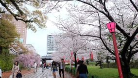 Sakura, flor de cerejeira no castelo de Wakayama fotos de stock