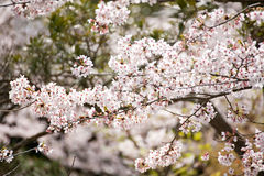 Sakura (flor de cereza japonés) fotografía de archivo