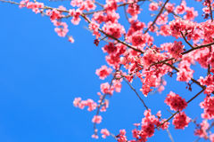 Sakura, flor de cerezo, árbol Foto de archivo