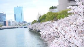 Sakura, flor de cerezo cerca de Osaka Castle Fotografía de archivo libre de regalías