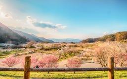 Sakura, flor de cerezo en árbol de la primavera en el cielo azul Fotografía de archivo