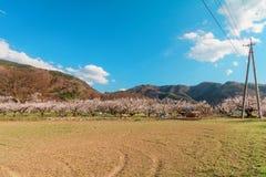 Sakura, flor de cerezo en la primavera del pueblo del albaricoque Fotografía de archivo libre de regalías