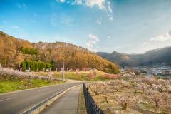 Sakura, flor de cerezo en la primavera del pueblo del albaricoque Imagen de archivo