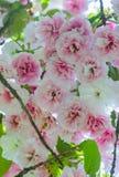Sakura Flor de cerezo japonés Royaltyfri Fotografi