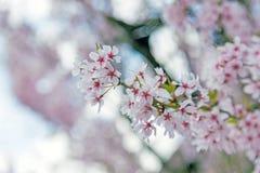 Sakura, flor rosado en Japón Imagen de archivo libre de regalías