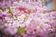 Sakura floreciente Imagen de archivo libre de regalías