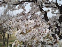 Sakura floreciente foto de archivo libre de regalías