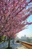 Sakura floreciente en el distrito histórico de Budapest imagen de archivo