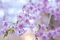 Sakura - flores de cerezo Fotos de archivo