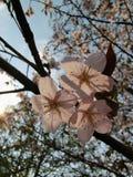 Sakura στοκ φωτογραφία με δικαίωμα ελεύθερης χρήσης