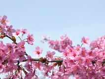 Sakura flower. In the garden stock photography