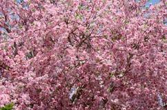 Sakura Flower Fotografía de archivo libre de regalías