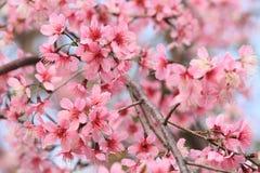 Sakura Flower Foto de archivo libre de regalías
