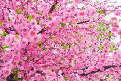 Sakura Flower Royalty-vrije Stock Foto