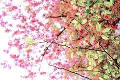 Sakura Flower Stockfotografie